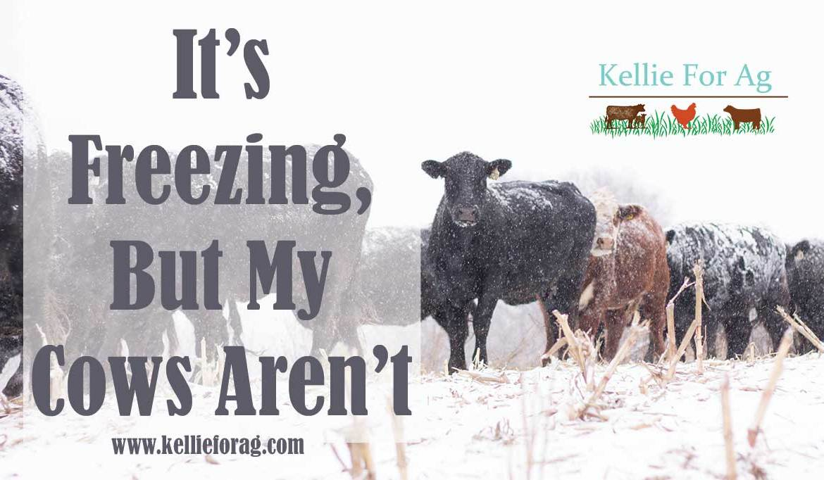 It's Freezing, but My Cows Aren't