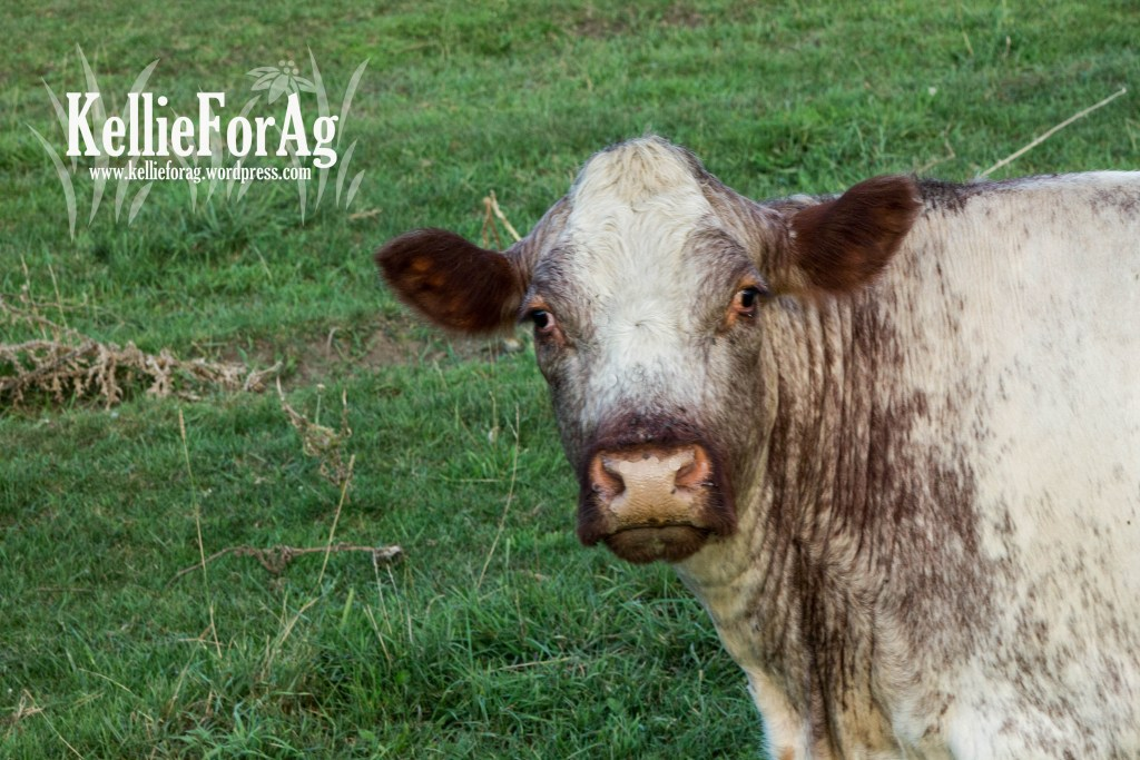 This is Izzy! She's a great momma and cow. Has an outstanding calf every year and is easy to work with.