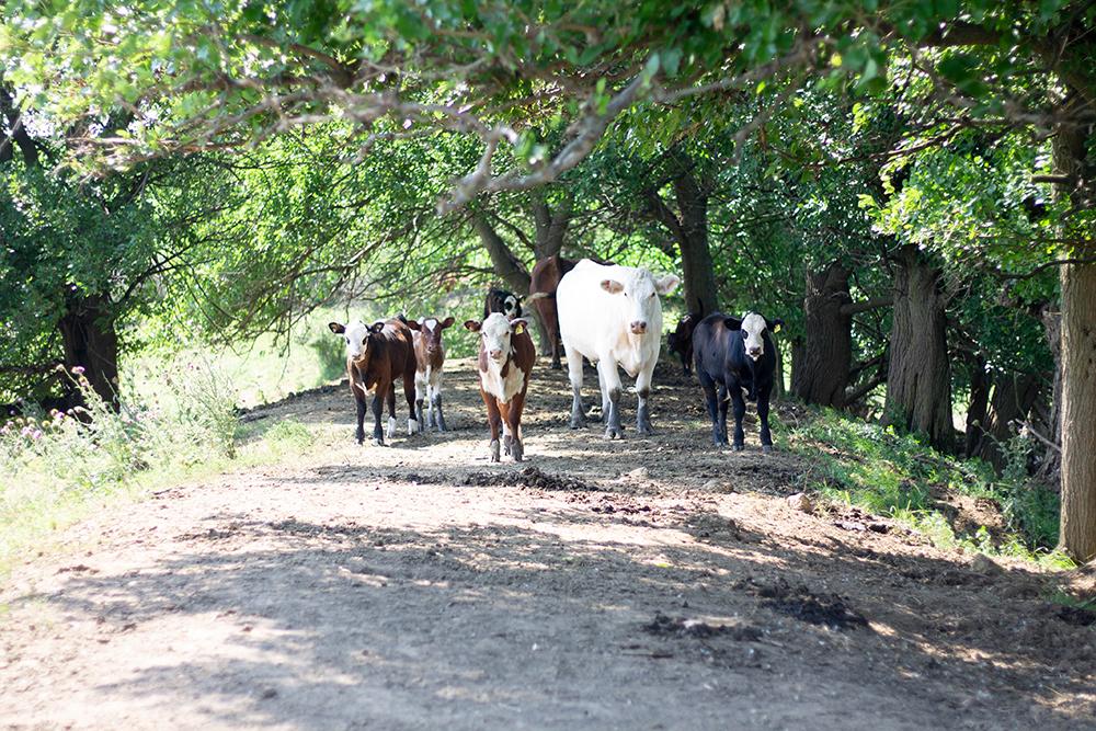 Cattle Avoiding Heat