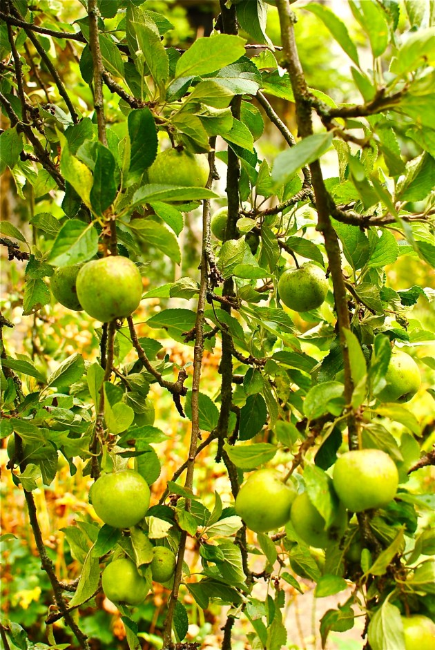 low-hanging apples - best get picking
