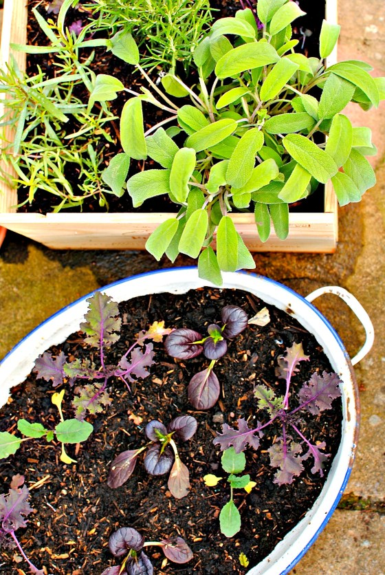 young black oak choi and curly kale plants + one of my herb boxes
