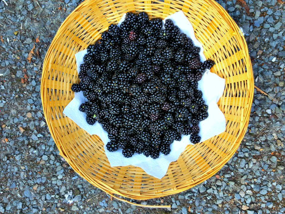 wild blackberries picked in the doctor's car park, a car park which is deserted at the weekends...