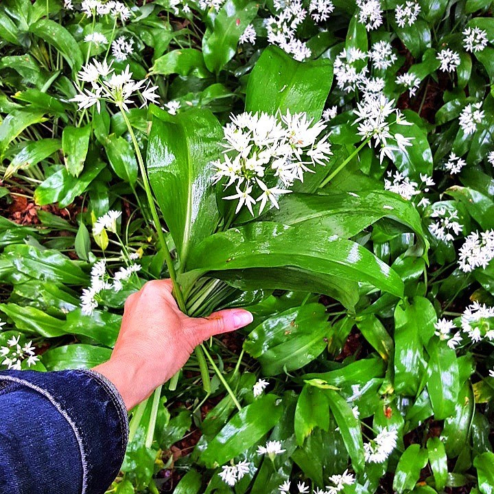 wild garlic picking close up with hand