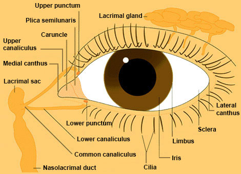 eye from front anatomy
