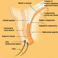 Parts Of The Eyelid Diagram Solid Matter Lid In Cross Section Anatomy Eyes Have It