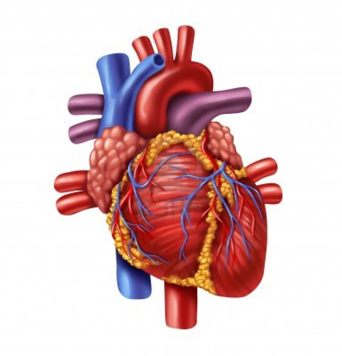 anterior heart diagram unlabeled 3 way switch wiring light in middle a year mbarara