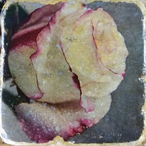White Rose 2 Coaster by Kelly Cushing