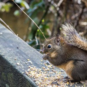 Squirrel Eating his Lunch Wall Decor by Kelly Cushing