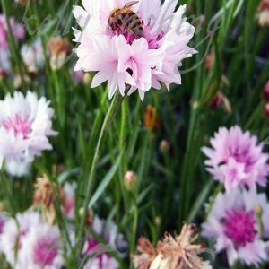 Pink Cornflowers and Bee