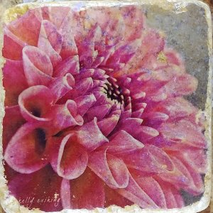 Pink Dahlia 3 Coaster by Kelly Cushing