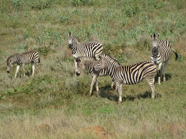 I (heart) zebras