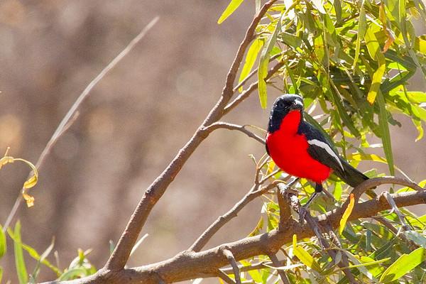 Crimsonbreasted Shrike