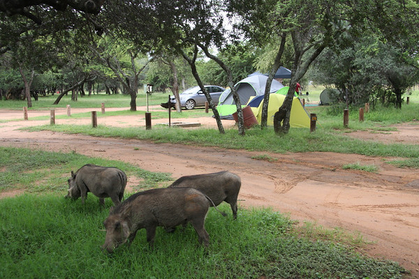 Warthogs grazing next to our campsite