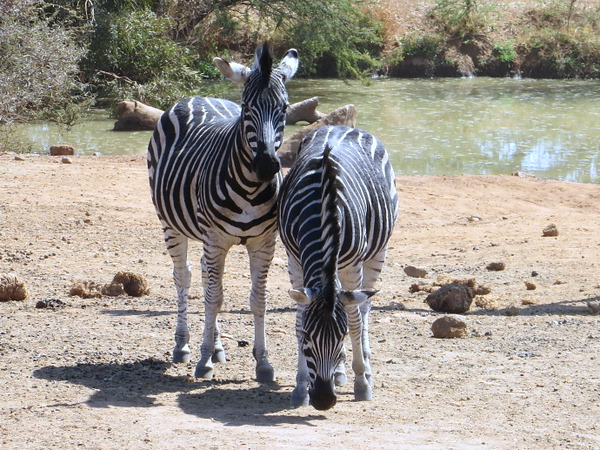 Zebra buddies at Pilanesberg Centre