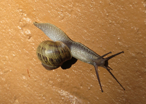 This snail was really hauling butt along the wall to our house.  He must have known a french guy lives here.