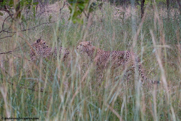 Cheetahs in the long grass