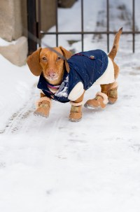 Winter Clothing for Miniature Dachshunds