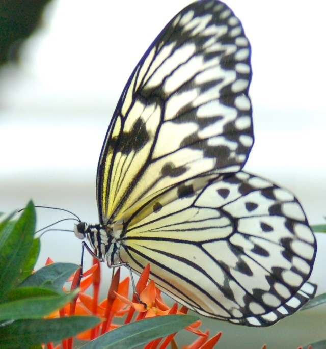 Iris the Butterfly