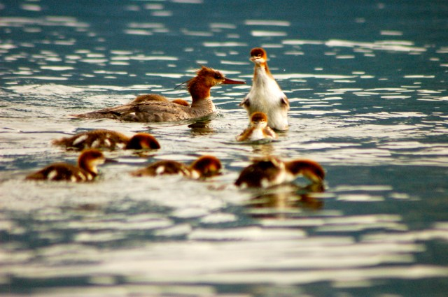Mergansers Teton National Park