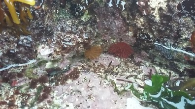 Rock pools Cornwall flowering anemone