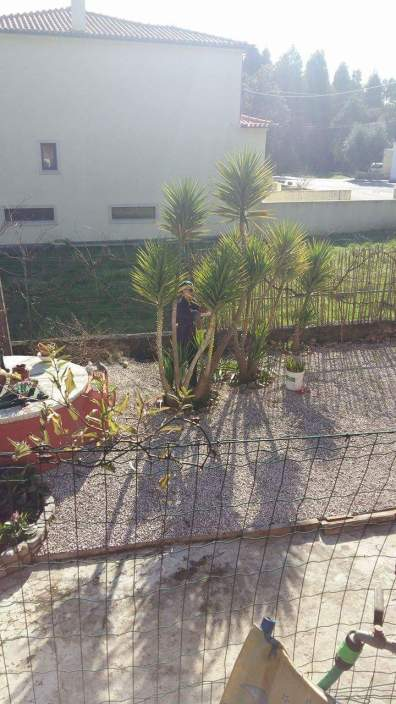 Trimming yuccas promoting new vegetation spring