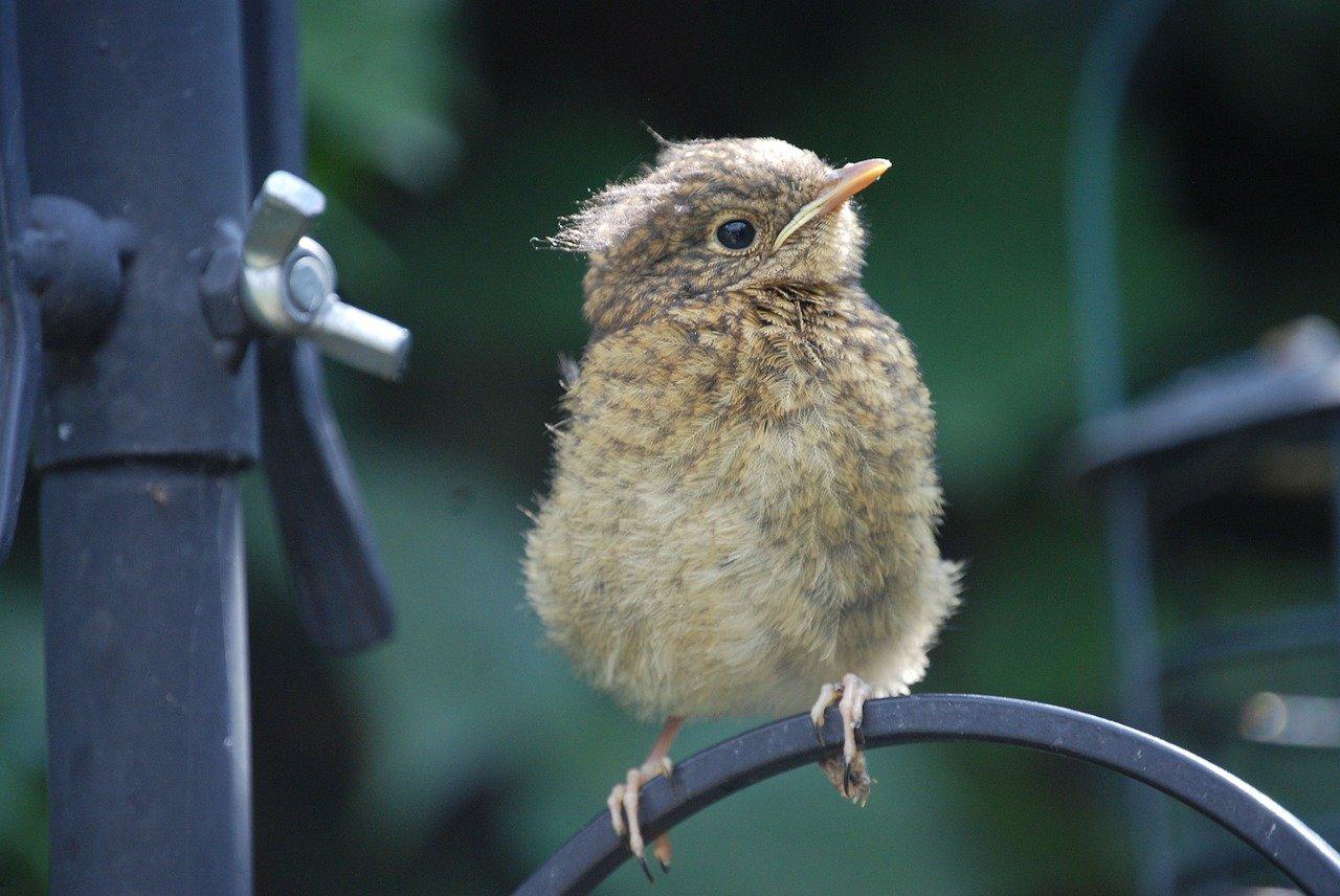 fledgling bird