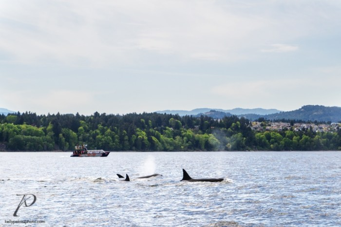 whales-vancouver-0004