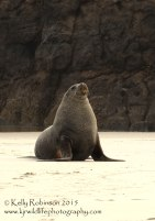 New Zealand sea lion