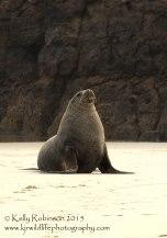 New Zealand sea lion