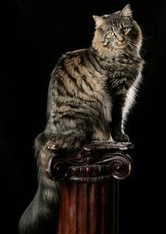 Kittens For Sale In Ky : kittens, Kellys, Kittens