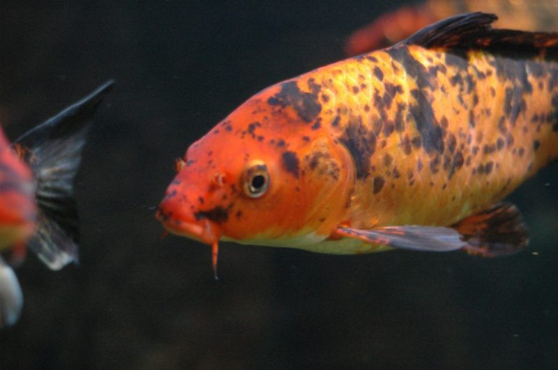 How To Keep Your Koi Fish Healthy?