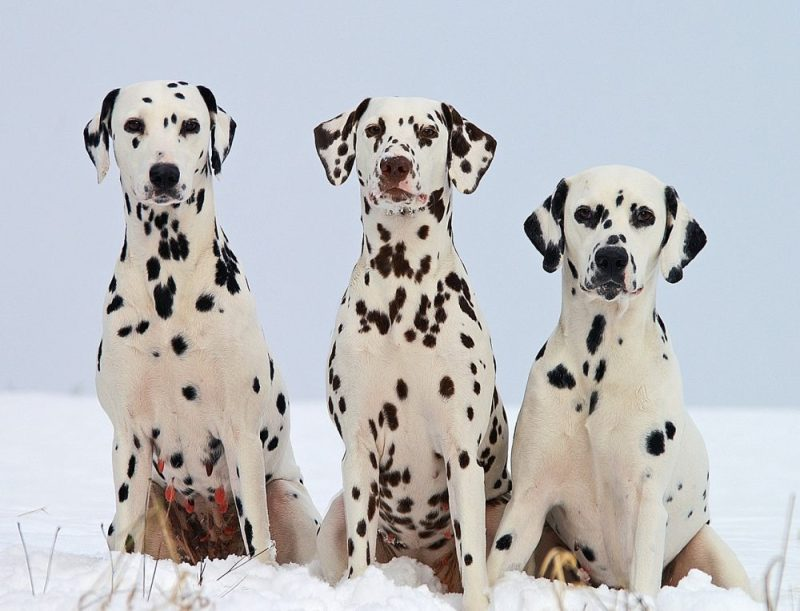 101 Dalmatians: How Could Disney Tell Them Apart?