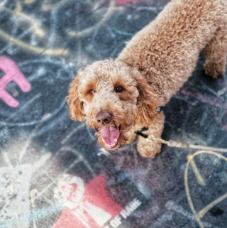 Curly Haired Dog: Grooming Tips for Rain and Mud