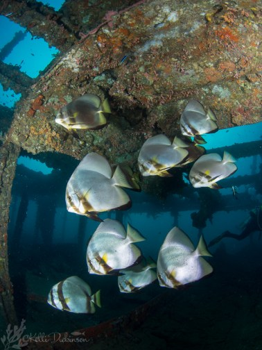 A school of Cicular batfish or spadefish hang out under the wreck of the Daryl Laot while they are cleaned by little wrasse.