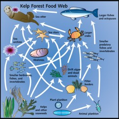 Kelp Forest Food Web Diagram Dynaco Pat 4 Wiring Chain - Forests