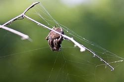 lizard life cycle diagram club car battery wiring 48 volt barn orb-weaver spiders - science