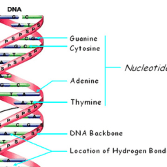 Animal Cloning Diagram Ezgo Gas Key Switch Wiring Stucture Of Dna - Science