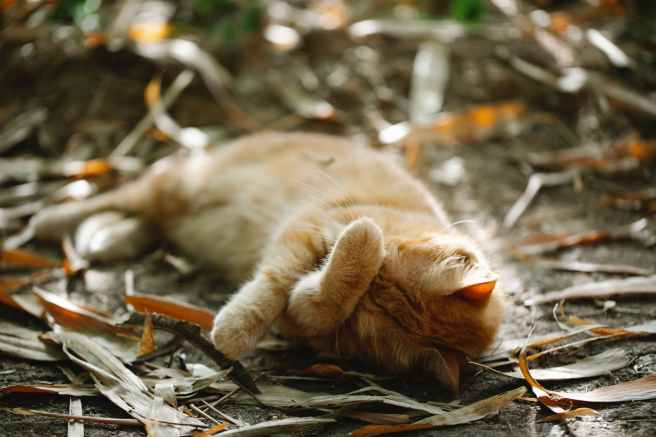 ginger cat sleeping on ground in autumn