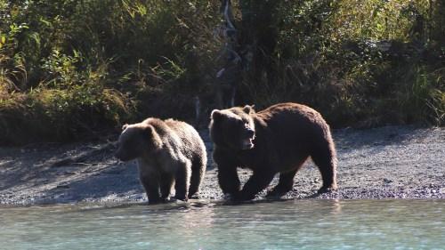 Two brown bears fishing for sockeye salmon at Wolverine Creek, Alaska