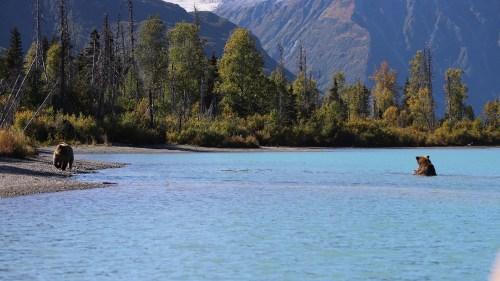 Two brown bears fishing for sockeye salmon at Crescent Lake, Alaska