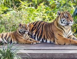 Pemuda Asal Merangin Tewas Diterkam Harimau saat Cari Sinyal di Bukit