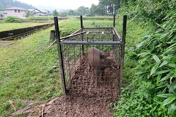 Boar Trap