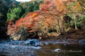 Koyo Along the Banks Of The Kiyotakigawa River
