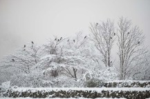 Flock Of Ravens Congregating At Day Break