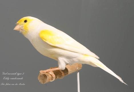 MosaicYellowcock-1