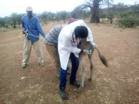 A Vet Officer rectal temperature of donkey before treating the donkey