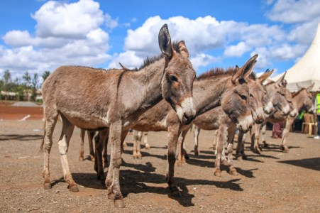 Donkeys awarded to donkey owners teams during donkey day May
