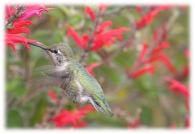 Ken Donaldson Hummingbird