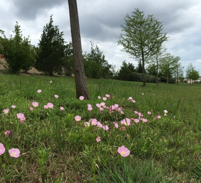 Cedar Park Poppies