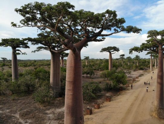 Journey To The Iconic Avenue Of The Baobabs in Madagascar